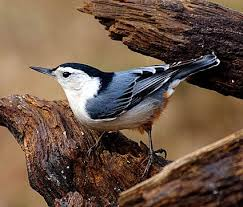 White-breatsed Nuthatch