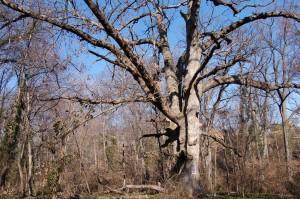 "Twin Oak with ""Dead Tree"" sign -- February 2007"