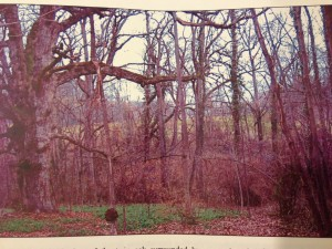 Twin Oak tree & overgrown meadow before rehabilitation -- 2005